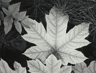 Leaf, Glacier Bay, Alaska, 194