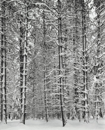 Pine Forest in Snow, Yosemite