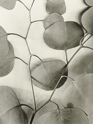 Eucalyptus Leaves, 1933