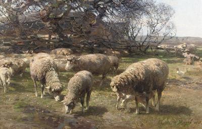 Sonniger Märzmorgen: sheep gra