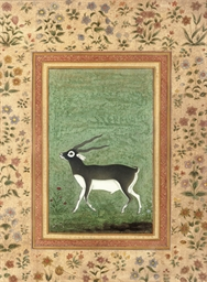 A BLACK BUCK, INDIA, 20TH CENT