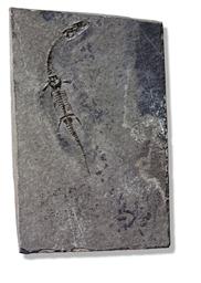 KEICHOUSAURUS HUI JUVENILE