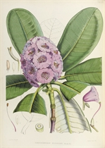 HOOKER, Joseph Dalton (1817-1911). The Rhododendrons of Sikkim-Himalaya, being an account ... of the rhododendrons recently discovered in the mountains of Eastern Himalaya ... edited by Sir W. J. Hooker. London: Reeve, Benham and Reeve, 1849-1851.