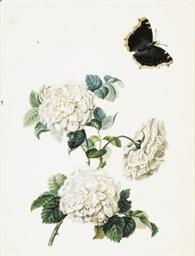 Trois roses blanches et un pap