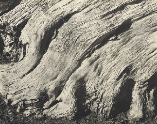 Cypress, Point Lobos, 1929