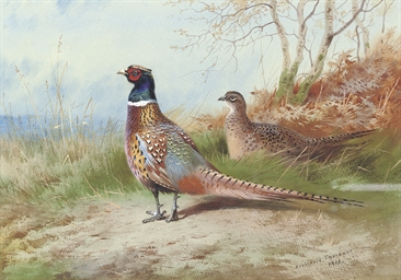 A cock and hen pheasant emergi