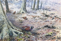 Pheasant in a wood