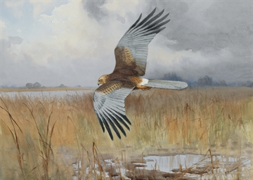 A male Marsh Harrier foraging