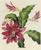 EDWARDS, Sydenham Teak (c.1768-1819).  The Botanical Register. London: James Ridgway, 1828-1832. Volumes XIV-XVIII only (of 33), 8° (239 x 148 mm). c. 434 hand-coloured engraved plates, many folding (a couple of plates with some soiling & offsetting, the vast majority fresh and clean). Contemporary green calf (boards scuffed and worn, joints rubbed). Edwards was encouraged as a botanical artist by William Curtis, and worked for twenty-seven years as an artist for Curtis' Botanical Magazine (cf. lot 328). In 1815, Edwards left the Botanical Magazine to start his own periodical, The Botanical Register. Sold with a set of odd volumes with botanical plates, mostly hand-coloured. Sold as a periodical, not subject to return. (12)