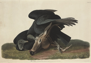 Black Vulture or Carrion Crow,