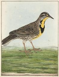 Eastern Meadowlark 'Sturnella