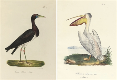 RUEPPELL, Eduard (1794-1884).
