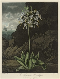 The American Cowslip; and The