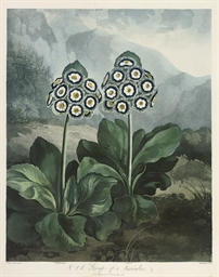 A Group of Auriculas, by Suthe