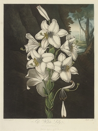 The White Lily, with variegate