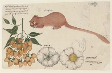 Study of a Mongoose, fruit and