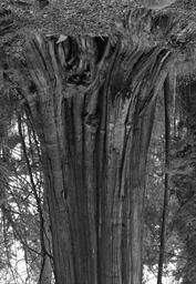 Cedars, Stanley Park, #7