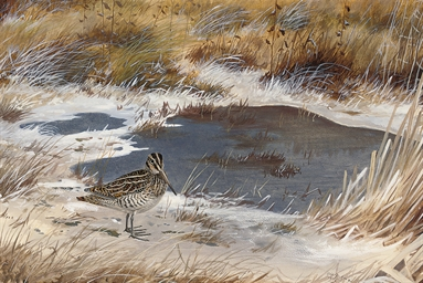 A snipe in the marshes, mid-wi