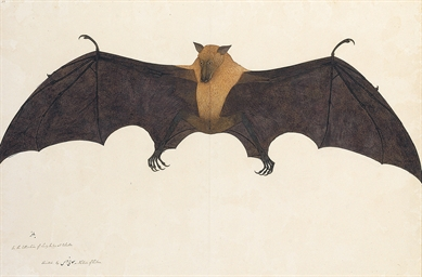 Great Indian Fruit Bat (Flying