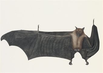 Giant Indian Fruit Bat (Flying Fox), Pteropus giganteus, one wing outstretched, one folded
