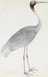 An Indian Sarus Crane, Grus An