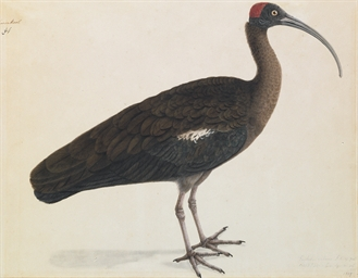 A Red-naped Ibis (Black Ibis),