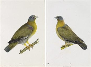 A pair of Yellow-footed Green