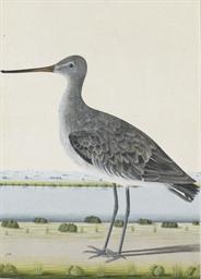A Black-tailed Godwit, Limosa