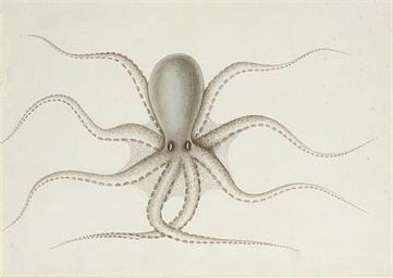 Study of an octopus