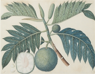 Study of a Breadfruit plant, A