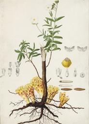 A flax plant (Linum usitatissi