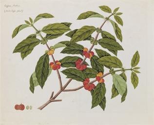 Study of Coffea Arabica