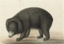 A sloth bear (Melursus ursinus)