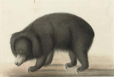 A sloth bear (Melursus ursinus