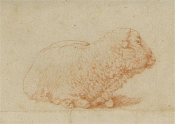 A resting sheep