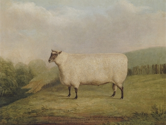 A prize ram bred by Mr. Willia