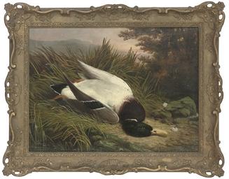 A dead mallard