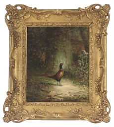 A pheasant in a woodland glade