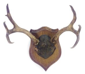 A MOUNTED ANTLER HORN,