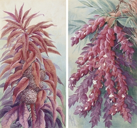 Amaranthus caudatus [Tassel fl