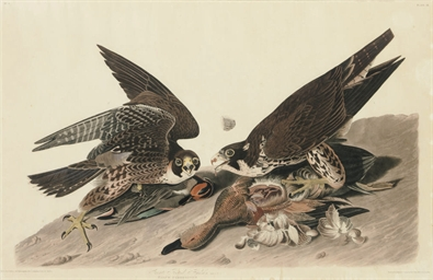 Great Footed Hawk (Plate 16) F