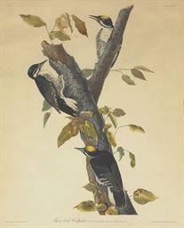 Three-toed Woodpecker (Plate C