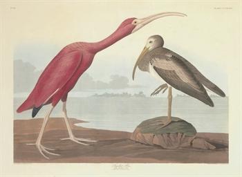 Scarlet Ibis (Plate CCCXCVII)