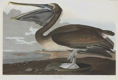 Brown Pelican (Plate CCCCXXI)
