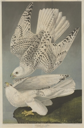 Iceland or Jer Falcon (Plate 1
