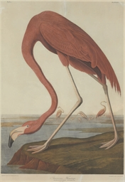 American Flamingo (Plate 375)
