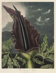 The Dragon Arum; The Snowdrop;