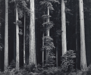 Redwoods, Bull Creek Flat, Nor