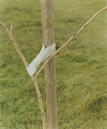 A sapling held by a post, 2000