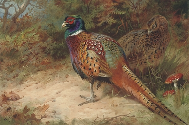 Cock and hen pheasant in the u